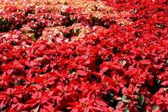 Albero rosso nel giardino Fotografie Stock