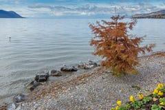 Albero rosso sul lago Lemano a Montreux, Svizzera Fotografie Stock