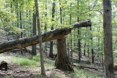 Albero rotto nella foresta fotografie stock libere da diritti