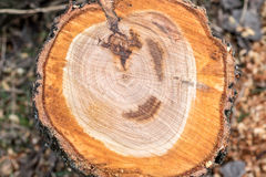 Albero rovesciato, vista superiore, anelli annuali Fotografia Stock