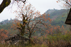 Albero rovinato di cachi e della fattoria Fotografia Stock