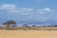 Albero in savanna, paesaggio africano tipico Immagini Stock