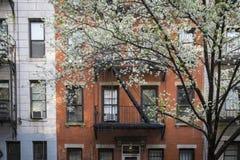 Albero sbocciante, costruzione di appartamento, Manhattan, New York Fotografia Stock Libera da Diritti