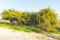 Albero sbocciante della mimosa nei campi Immagini Stock