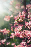 Albero sbocciante della primavera Fotografia Stock Libera da Diritti