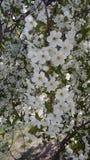 Albero sbocciante, fiori bianchi su un albero Ciliegia Immagini Stock