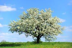 Albero sbocciante in primavera Fotografie Stock Libere da Diritti