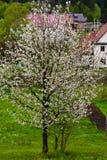 Albero sbocciante in primavera Immagini Stock