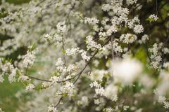 Albero sbocciante in primavera del prato rurale immagine stock