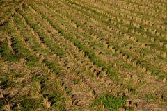 Albero secco del riso e del terreno coltivabile Immagine Stock