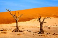 Albero secco dell'acacia del cammello sulle dune di sabbia arancio e sul fondo luminoso del cielo blu, Namibia, Africa meridional fotografia stock libera da diritti
