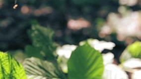 Albero sempreverde con le foglie aghiformi all'aperto video d archivio