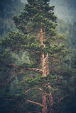 Albero sempreverde enorme Immagini Stock