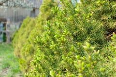 Albero sempreverde fotografia stock