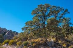 Albero sempreverde nel deserto di California fotografia stock