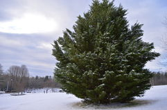 Albero sempreverde nell'inverno Fotografia Stock