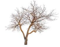 L'albero nudo con neve rimane Immagini Stock Libere da Diritti