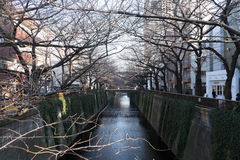 Albero sfrondato del fiore di ciliegia lungo il fiume di Meguro l'11 febbraio 2015 a Tokyo Fotografia Stock