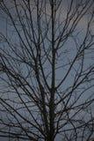 Albero sfrondato di inverno al crepuscolo Fotografie Stock