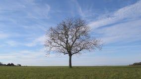 Albero sfrondato isolato nel campo verde su fondo di cielo blu video d archivio
