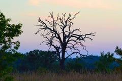 Albero sfrondato nudo al tramonto Fotografia Stock