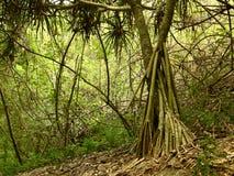 Albero a Sigatoka Fotografia Stock Libera da Diritti