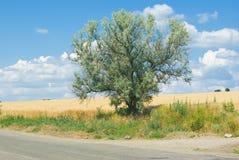 Albero silverberry ramoso solo Fotografie Stock Libere da Diritti