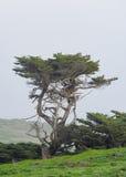 Albero soffiato vento lungo la costa dell'Oregon Fotografia Stock Libera da Diritti