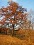 Albero in sole di autunno royalty illustrazione gratis