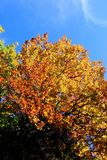 Albero soleggiato dorato in autunno Fotografie Stock Libere da Diritti