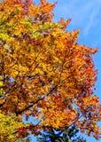 Albero soleggiato dorato e arancio in autunno Fotografia Stock