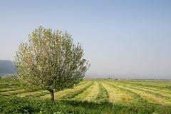 albero solitario Fotografia Stock Libera da Diritti