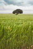 Albero solo al prato verde chiaro al Cipro del Nord Immagini Stock