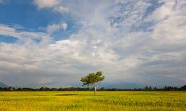 Albero solo alla risaia con cielo blu Fotografie Stock