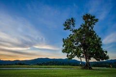 Albero solo con il campo di erba fresco delle foglie verdi Fotografia Stock