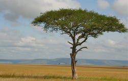 Albero solo con l'uccello solo in savana Fotografia Stock Libera da Diritti