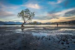 Albero solo del lago Wanaka, Nuova Zelanda Fotografia Stock