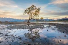 Albero solo del lago Wanaka, Nuova Zelanda Fotografia Stock Libera da Diritti