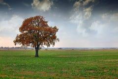 albero solo del prato dell'erba asciutta di autunno Immagini Stock
