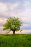 albero solo del tramonto del campo Immagini Stock Libere da Diritti