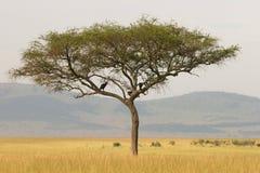 Albero solo dell'acacia, Masai Mara, Kenia Immagini Stock
