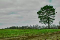 Albero solo della conifera su un giacimento verde della molla fotografia stock