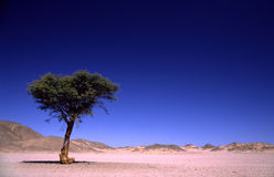 Albero solo in deserto Fotografie Stock