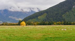 Albero solo di Wanaka, la Nuova Zelanda fotografia stock libera da diritti