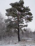 Albero solo nella foresta Fotografia Stock Libera da Diritti