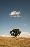 Albero solo - quercia - albero nel campo - North Yorkshire Fotografia Stock Libera da Diritti