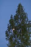 Albero solo su un cielo blu scuro Fotografie Stock Libere da Diritti