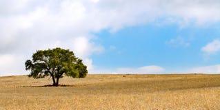 Albero solo su una collina - siccità rurale di scena asciutta Fotografia Stock Libera da Diritti