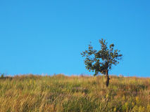 Albero solo sul campo con cielo blu pulito Fotografia Stock