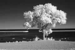 Albero solo sul lago fotografia stock